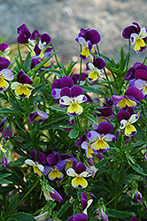 Johnny Jump-Up (Viola tricolor) at Squak Mountain Nursery