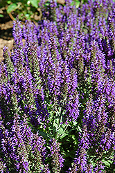 Marcus Sage (Salvia nemorosa 'Marcus') at Squak Mountain Nursery