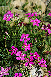 Alpine Pinks (Dianthus alpinus) at Squak Mountain Nursery