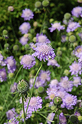 Blue Mist Pincushion Flower (Scabiosa 'Blue Mist') at Squak Mountain Nursery