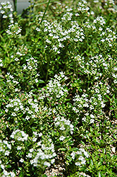 White Moss Thyme (Thymus praecox 'Albus') at Squak Mountain Nursery