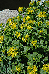Russian Stonecrop (Sedum kamtschaticum) at Squak Mountain Nursery
