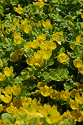 Creeping Jenny (Lysimachia nummularia) at Squak Mountain Nursery
