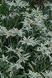 Alpine Edelweiss (Leontopodium alpinum) at Squak Mountain Nursery