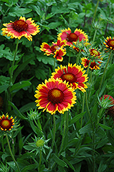 Goblin Blanket Flower (Gaillardia x grandiflora 'Goblin') at Squak Mountain Nursery