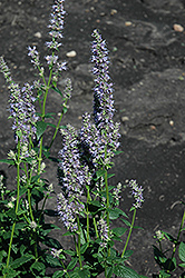 Anise Hyssop (Agastache foeniculum) at Squak Mountain Nursery