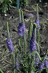 Blue Candles Speedwell (Veronica spicata 'Blue Candles') at Squak Mountain Nursery