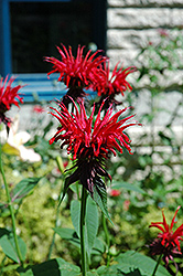 Jacob Cline Beebalm (Monarda 'Jacob Cline') at Squak Mountain Nursery