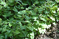 Chameleon Plant (Houttuynia cordata) at Squak Mountain Nursery