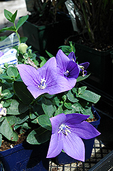 Astra Blue Balloon Flower (Platycodon grandiflorus 'Astra Blue') at Squak Mountain Nursery