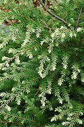 Moon Frost Hemlock (Tsuga canadensis 'Moon Frost') at Squak Mountain Nursery