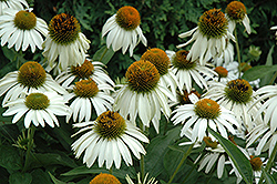 White Swan Coneflower (Echinacea purpurea 'White Swan') at Squak Mountain Nursery