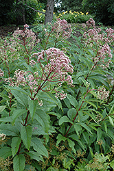 Gateway Joe Pye Weed (Eupatorium maculatum 'Gateway') at Squak Mountain Nursery