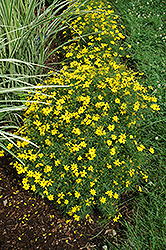 Zagreb Tickseed (Coreopsis verticillata 'Zagreb') at Squak Mountain Nursery