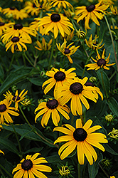 Indian Summer Coneflower (Rudbeckia hirta 'Indian Summer') at Squak Mountain Nursery