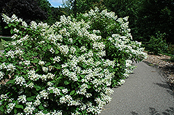 Pink Diamond Hydrangea (Hydrangea paniculata 'Pink Diamond') at Squak Mountain Nursery