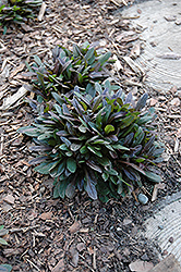 Chocolate Chip Bugleweed (Ajuga reptans 'Chocolate Chip') at Squak Mountain Nursery