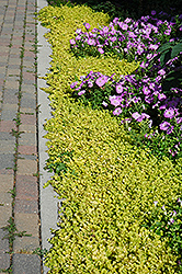 Golden Creeping Jenny (Lysimachia nummularia 'Aurea') at Squak Mountain Nursery