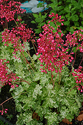 Snow Angel Coral Bells (Heuchera sanguinea 'Snow Angel') at Squak Mountain Nursery
