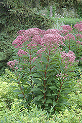 Joe Pye Weed (Eupatorium maculatum) at Squak Mountain Nursery