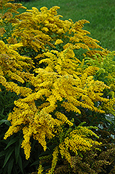 Crown Of Rays Goldenrod (Solidago 'Crown Of Rays') at Squak Mountain Nursery