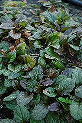 Bronze Beauty Bugleweed (Ajuga reptans 'Bronze Beauty') at Squak Mountain Nursery
