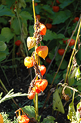 Chinese Lantern (Physalis alkekengi) at Squak Mountain Nursery