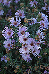 Woods Blue Aster (Aster 'Woods Blue') at Squak Mountain Nursery