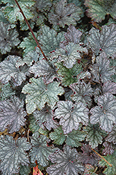 Frosted Violet Coral Bells (Heuchera 'Frosted Violet') at Squak Mountain Nursery