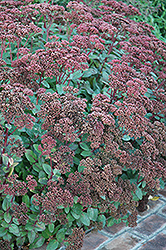 Matrona Stonecrop (Sedum 'Matrona') at Squak Mountain Nursery