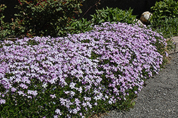 Emerald Blue Moss Phlox (Phlox subulata 'Emerald Blue') at Squak Mountain Nursery