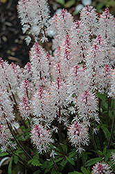 Spring Symphony Foamflower (Tiarella 'Spring Symphony') at Squak Mountain Nursery
