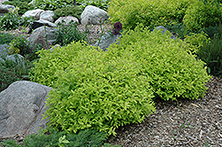 Goldmound Spirea (Spiraea japonica 'Goldmound') at Squak Mountain Nursery