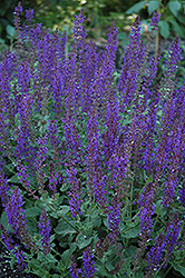 May Night Sage (Salvia x sylvestris 'May Night') at Squak Mountain Nursery