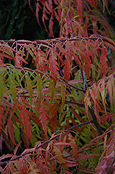 Tiger Eyes® Sumac (Rhus typhina 'Bailtiger') at Squak Mountain Nursery