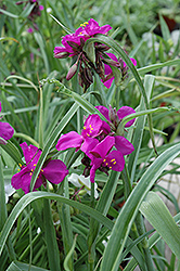 Red Grape Spiderwort (Tradescantia x andersoniana 'Red Grape') at Squak Mountain Nursery