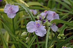 Little Doll Spiderwort (Tradescantia x andersoniana 'Little Doll') at Squak Mountain Nursery
