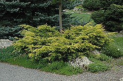 Old Gold Juniper (Juniperus x media 'Old Gold') at Squak Mountain Nursery