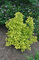 Golden Spirit Smokebush (Cotinus coggygria 'Golden Spirit') at Squak Mountain Nursery