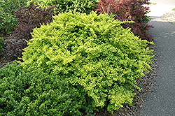 Golden Japanese Barberry (Berberis thunbergii 'Aurea') at Squak Mountain Nursery