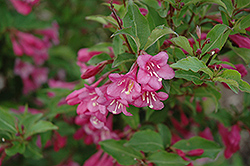 Minuet Weigela (Weigela florida 'Minuet') at Squak Mountain Nursery