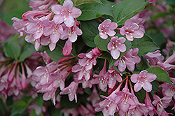 Pink Princess Weigela (Weigela florida 'Pink Princess') at Squak Mountain Nursery