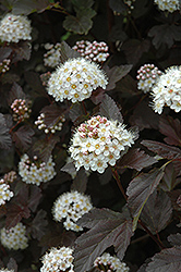 Diablo Ninebark (Physocarpus opulifolius 'Diablo') at Squak Mountain Nursery