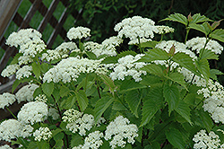 Blue Muffin® Viburnum (Viburnum dentatum 'Christom') at Squak Mountain Nursery