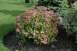 Goldflame Spirea (Spiraea x bumalda 'Goldflame') at Squak Mountain Nursery