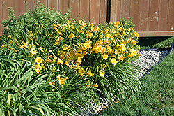 Stella de Oro Daylily (Hemerocallis 'Stella de Oro') at Squak Mountain Nursery