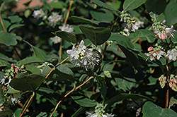 Snowberry (Symphoricarpos albus) at Squak Mountain Nursery