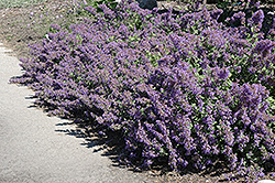 Walker's Low Catmint (Nepeta x faassenii 'Walker's Low') at Squak Mountain Nursery