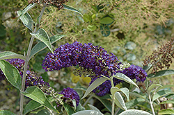 Adonis Blue™ Butterfly Bush (Buddleia davidii 'Adokeep') at Squak Mountain Nursery