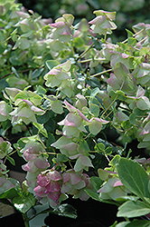 Kent Beauty Oregano (Origanum rotundifolium 'Kent Beauty') at Squak Mountain Nursery